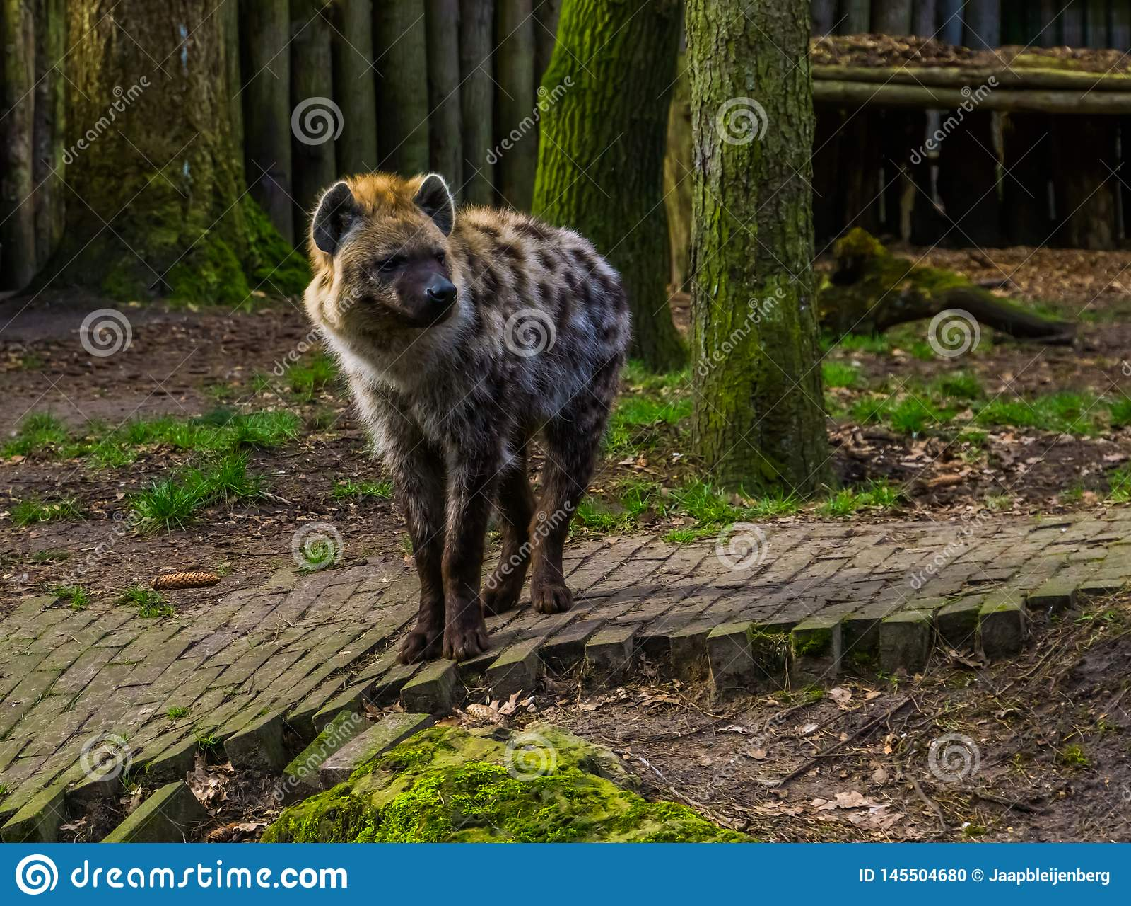 Hyène repérée en plan rapproché, mammifère carnivore des déserts de l Afrique
