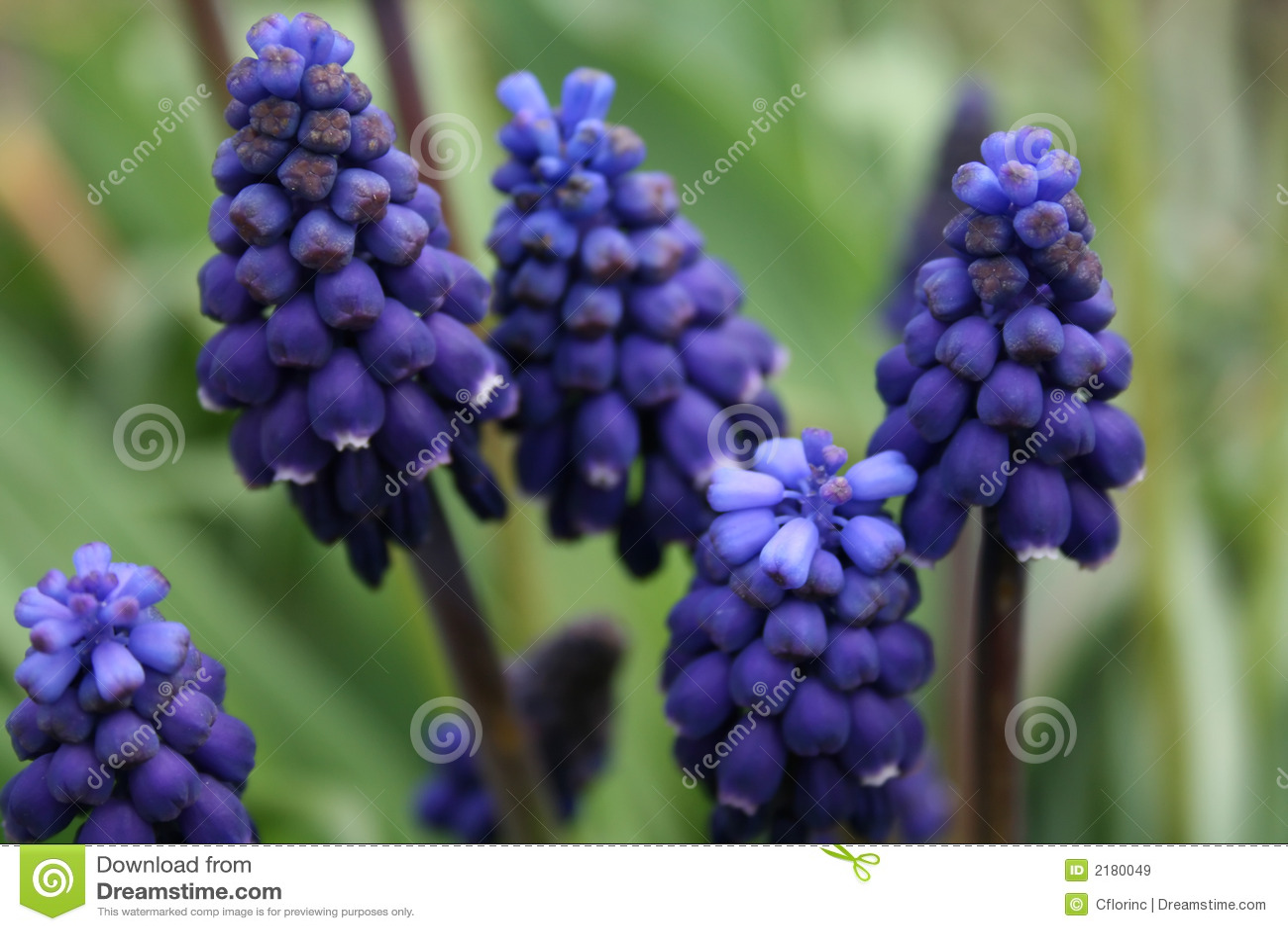 Hyacint azul