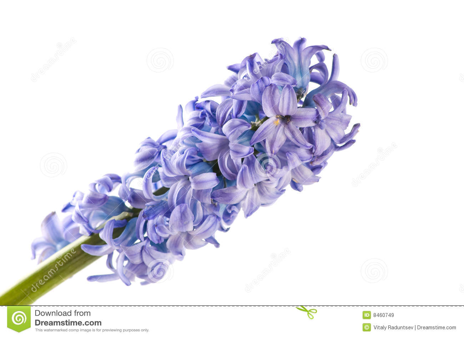 Hyacint isolerad white