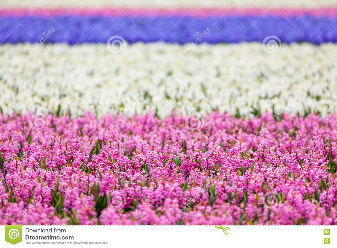 Hyacinth Beautiful Colorful Pink Blue And White Hyacinth Flowers - Colorful flower garden background