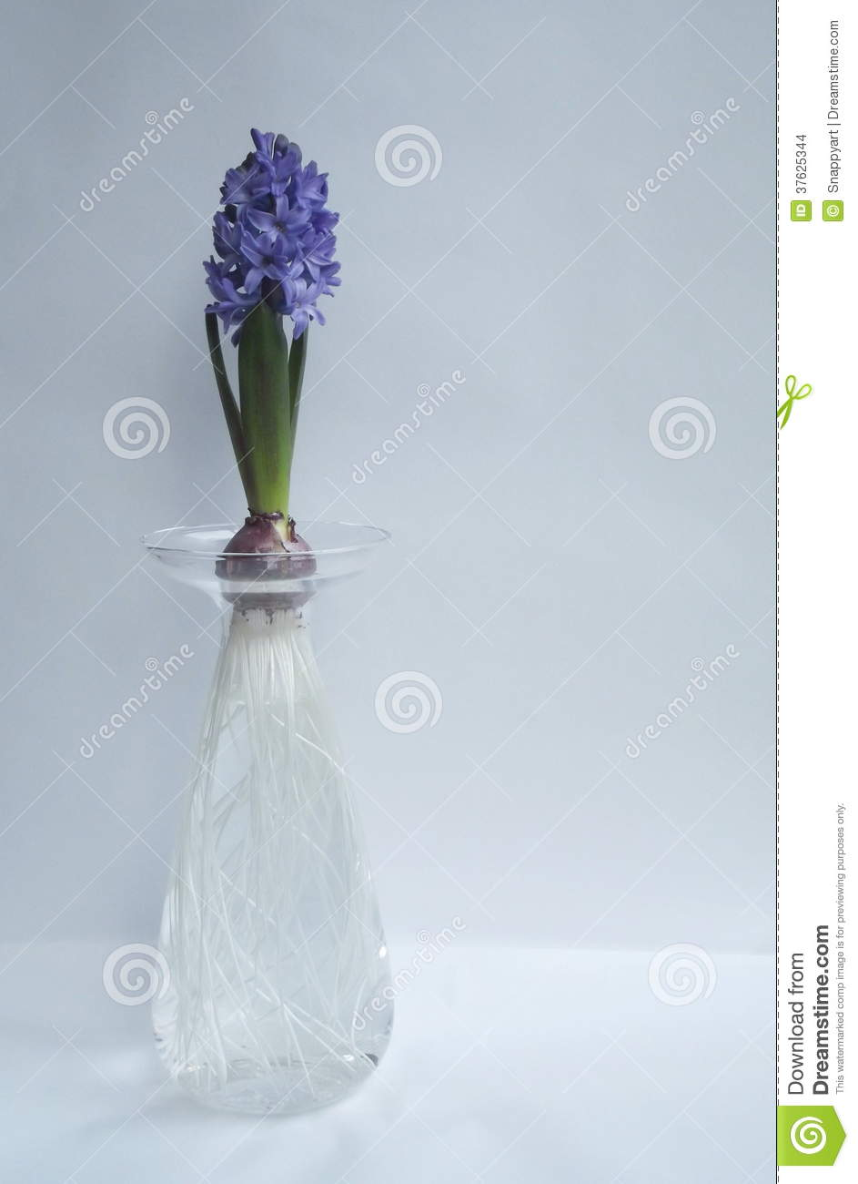 Hyacinth Blue Flower Bulb And Roots In Glass Vase Stock Images - Image: 37625344