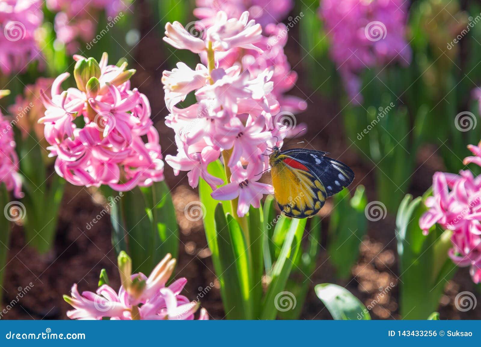 Hyacinth, Butterfly, Garden, Nature, Flower, Pink