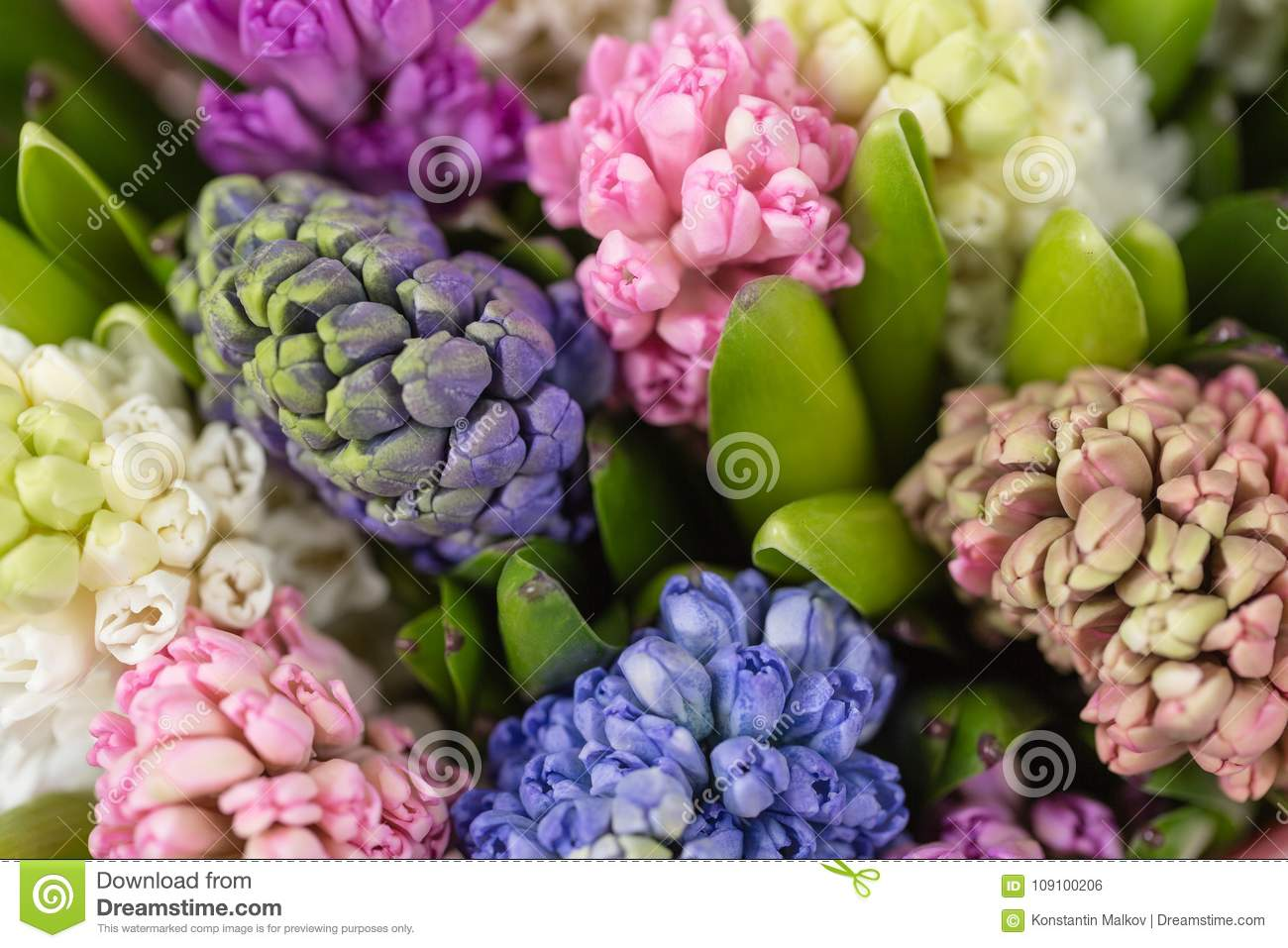 Hyacinth Closeup. Flower Shop Concept. Mixed Color. Fresh Spring ...