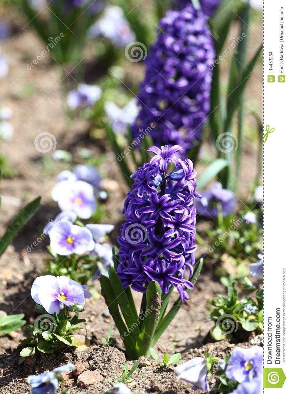 Hyacinth Field Of Colorful Spring Flowers Hyacinth On Sunlight