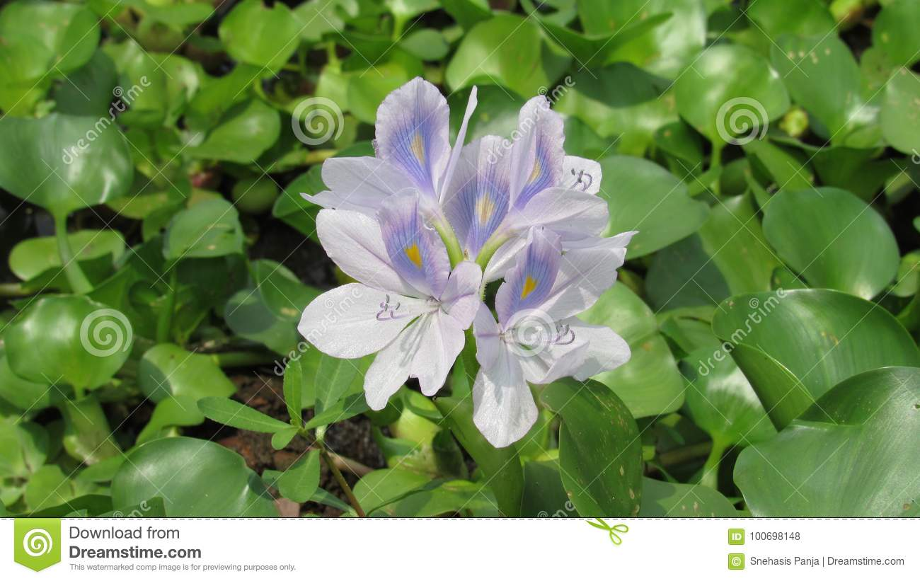 Hyacinth Flower Wild Water Plant Blue Purple White Green Color Stock ...