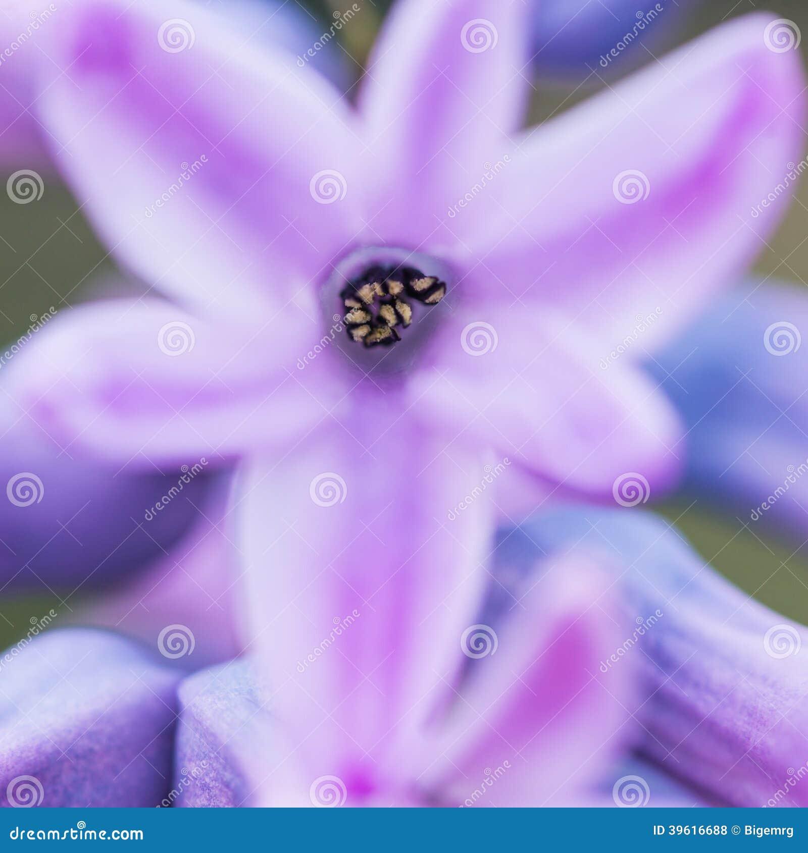 Hyacinth Hug