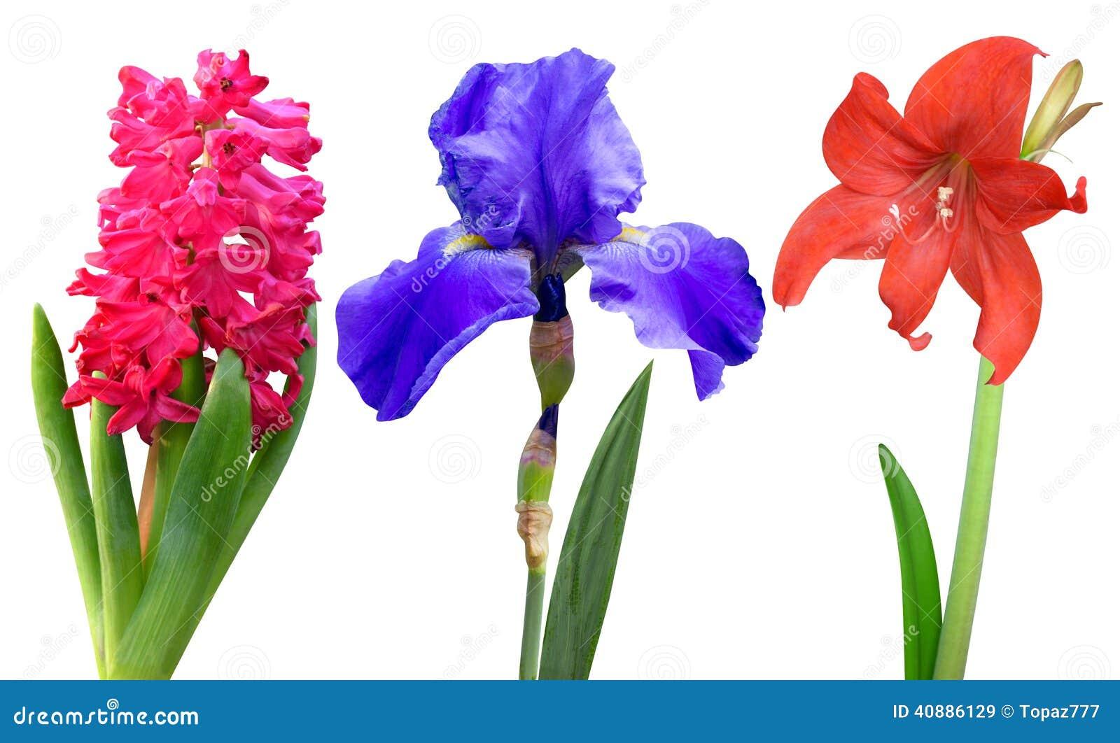 Hyacinth Iris Lily Stock Image Image Of Lily Flower 40886129
