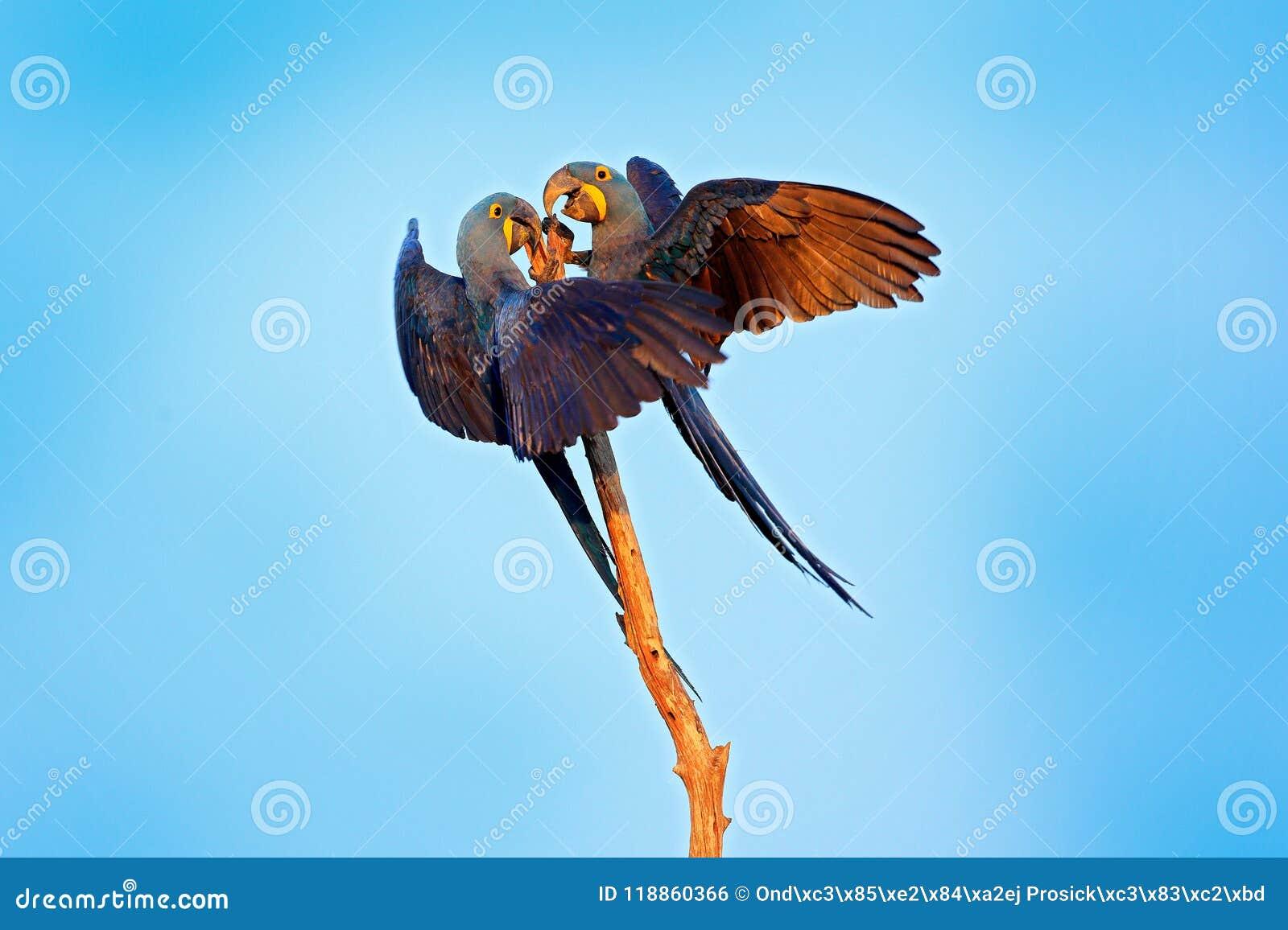 Hyacinth Macaw, hyacinthinus d Anodorhynchus, grand perroquet bleu se reposant sur la branche avec le ciel bleu-foncé, Pantanal,