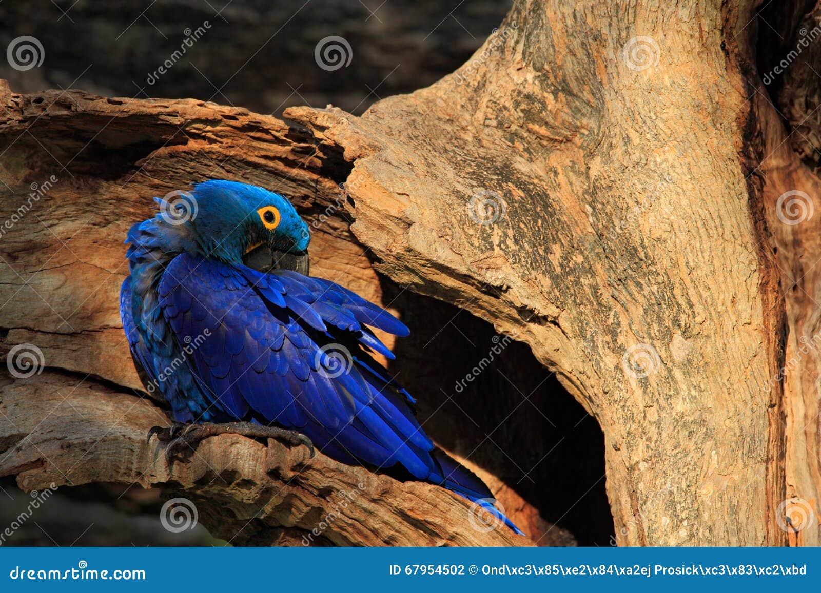 Oiseau Martine 11/01/2016 trouvé par Ajonc Hyacinth-macaw-hyacinthinus-d-anodorhynchus-grand-perroquet-rare-bleu-en-trou-de-nid-d-arbre-oiseau-dans-l-habitat-de-fort-de-67954502