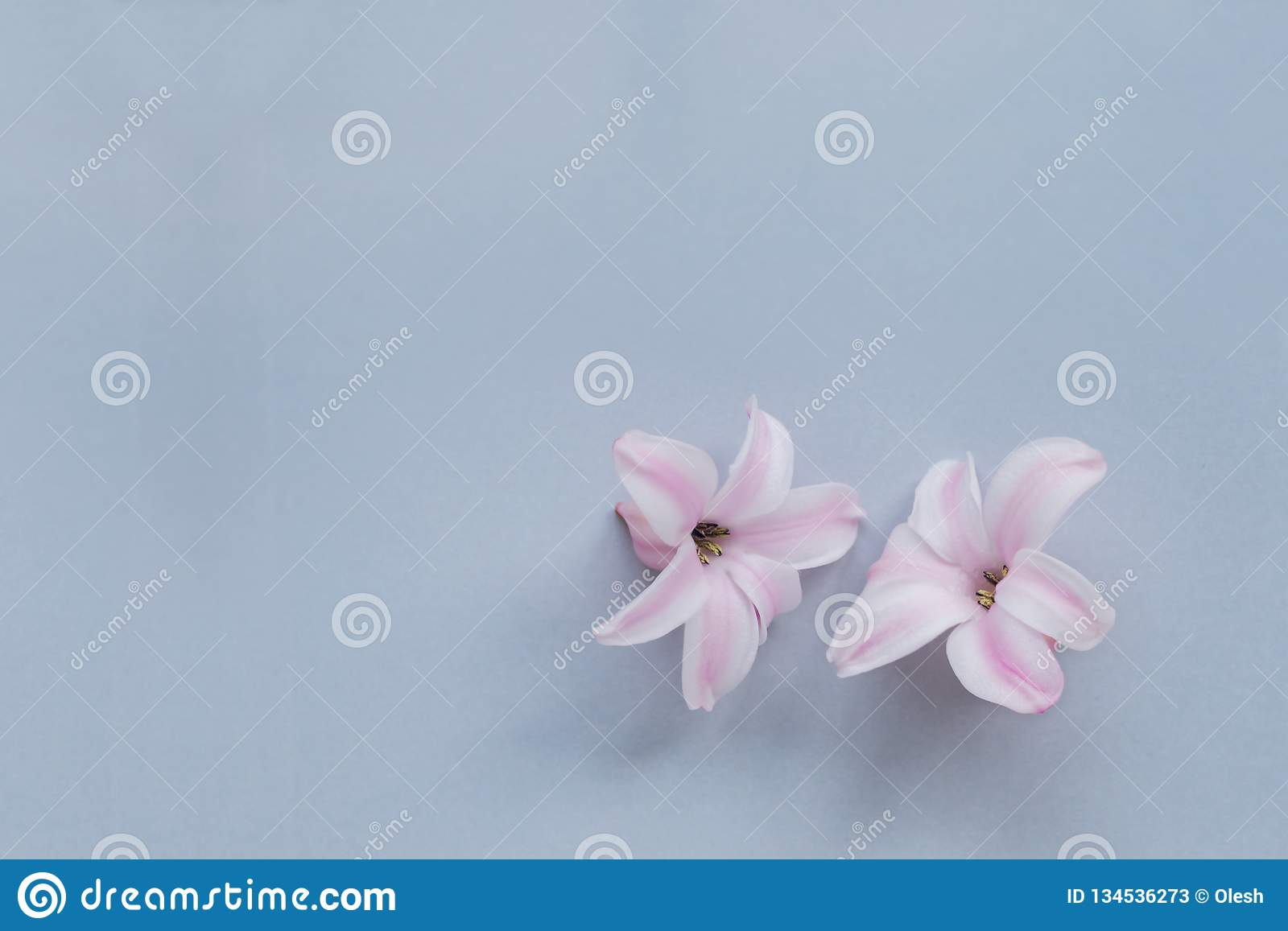 Hyacinth Pink Surprise Dutch Hyacinth. Pink flowers on a light blue background. Hyacinth Pink Surprise Dutch Hyacinth. Spring bulbs. Spring flowers. The perfume stock photos