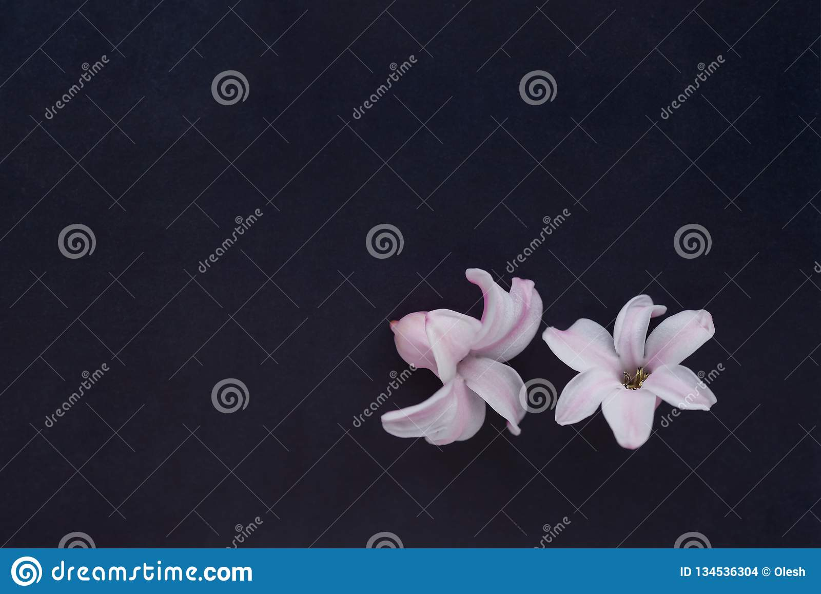 Hyacinth Pink Surprise Dutch Hyacinth. Pink flowers on a denim blue background. Hyacinth Pink Surprise Dutch Hyacinth. Spring bulbs. Spring flowers. The perfume stock images