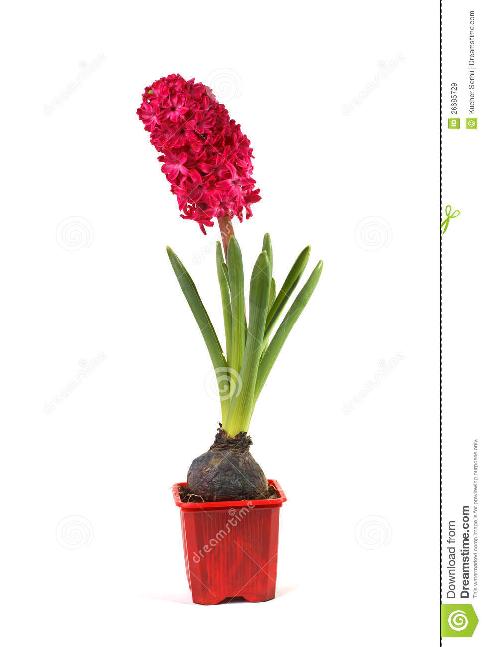 Hyacinth in a pot stock image image of bouquet fragrant 26685729 - Planting hyacinths pots ...