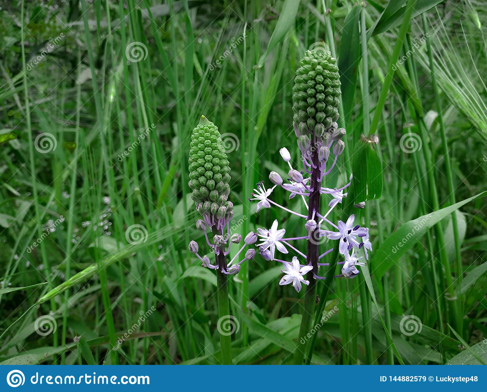 Hyacinth Squill light purple blooming flowers. Green grass landscape background. Wildflower nature field in Israel