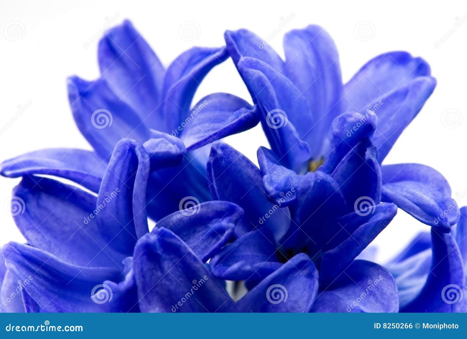 hyacinthe proche de fleur de bleu vers le haut photo stock image du instruction ampoule 8250266. Black Bedroom Furniture Sets. Home Design Ideas