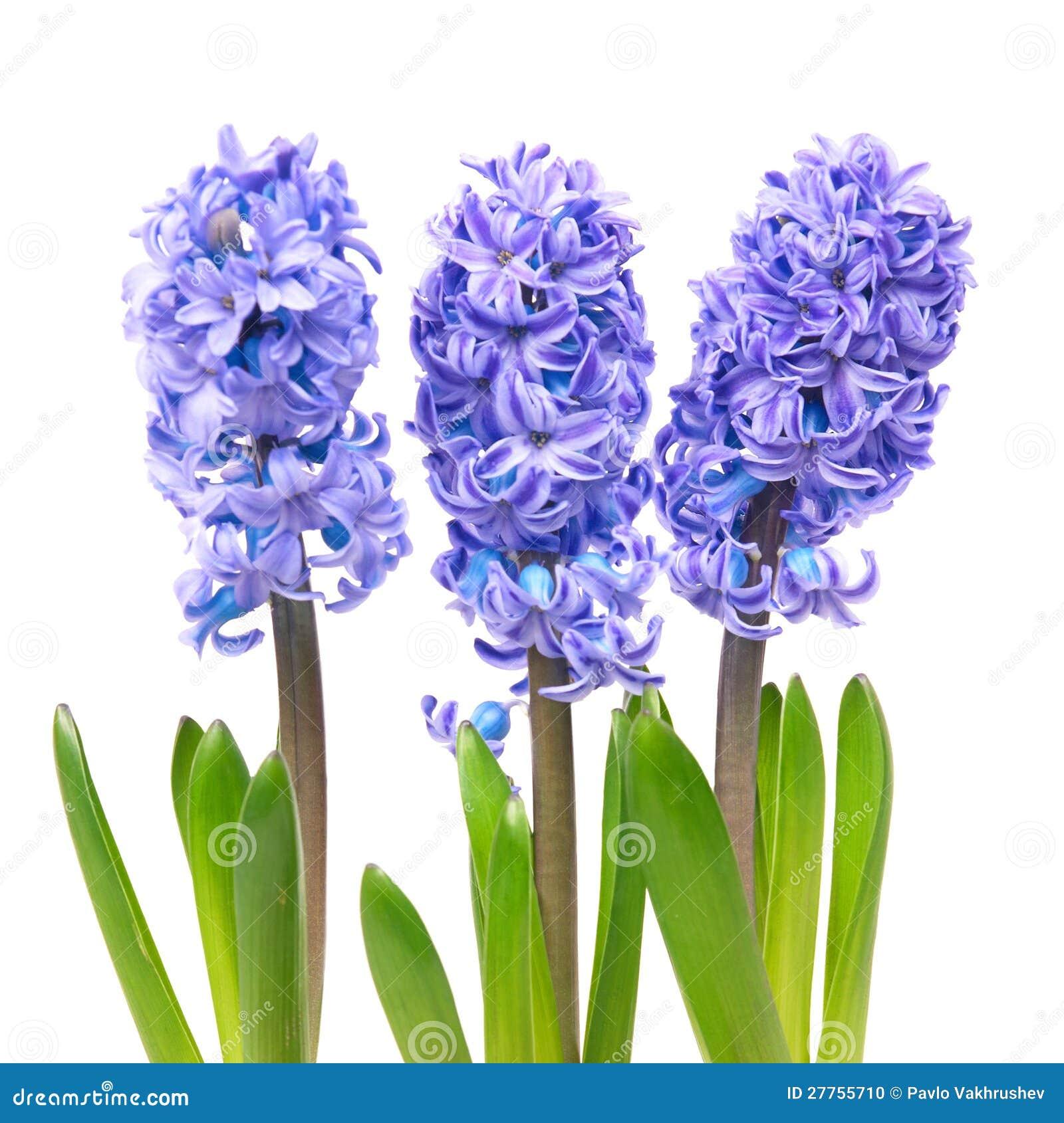 Hyacinthes bleus