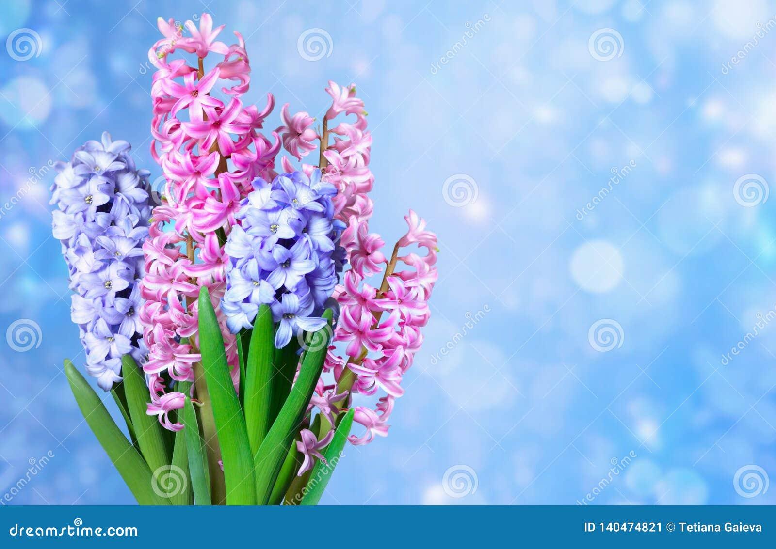 Hyacinths on a blurred blue background