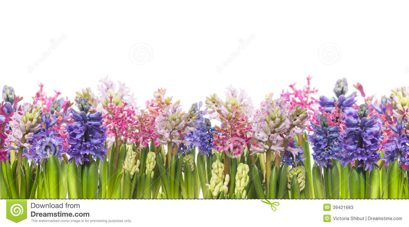 Hyacinths flowers blooming in spring,banner, isolated