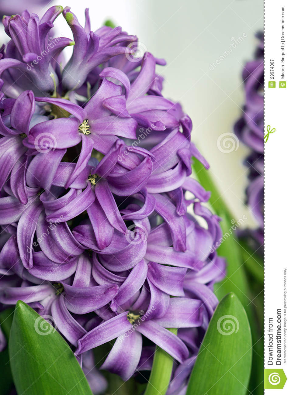Purple hyacinth spring stock image image of spring 29974067 download comp mightylinksfo