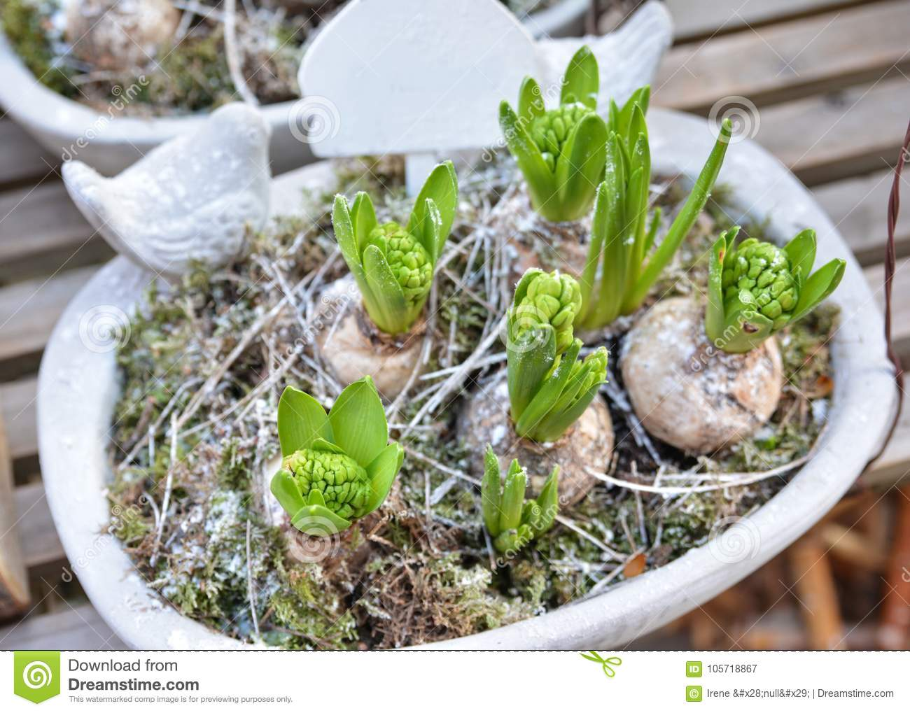 Hyacinths in a pot stock image image of easter fresh 105718867 - Planting hyacinths pots ...