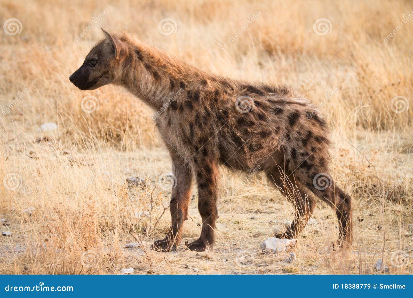 Hyaena repéré