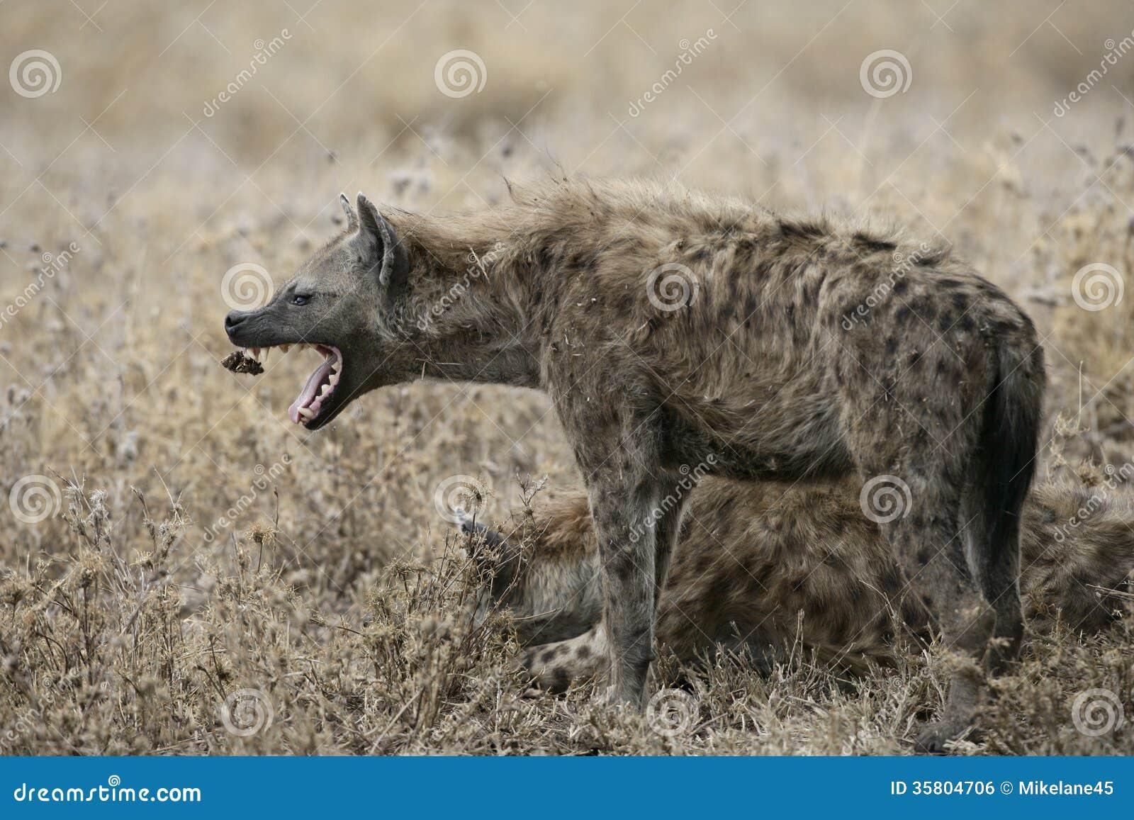 Hyaena repéré, crocuta de Crocuta,