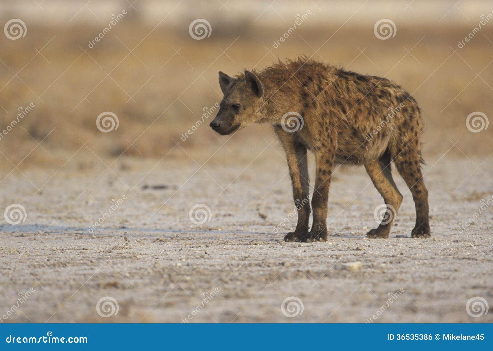Hyaena repéré, crocuta de Crocuta