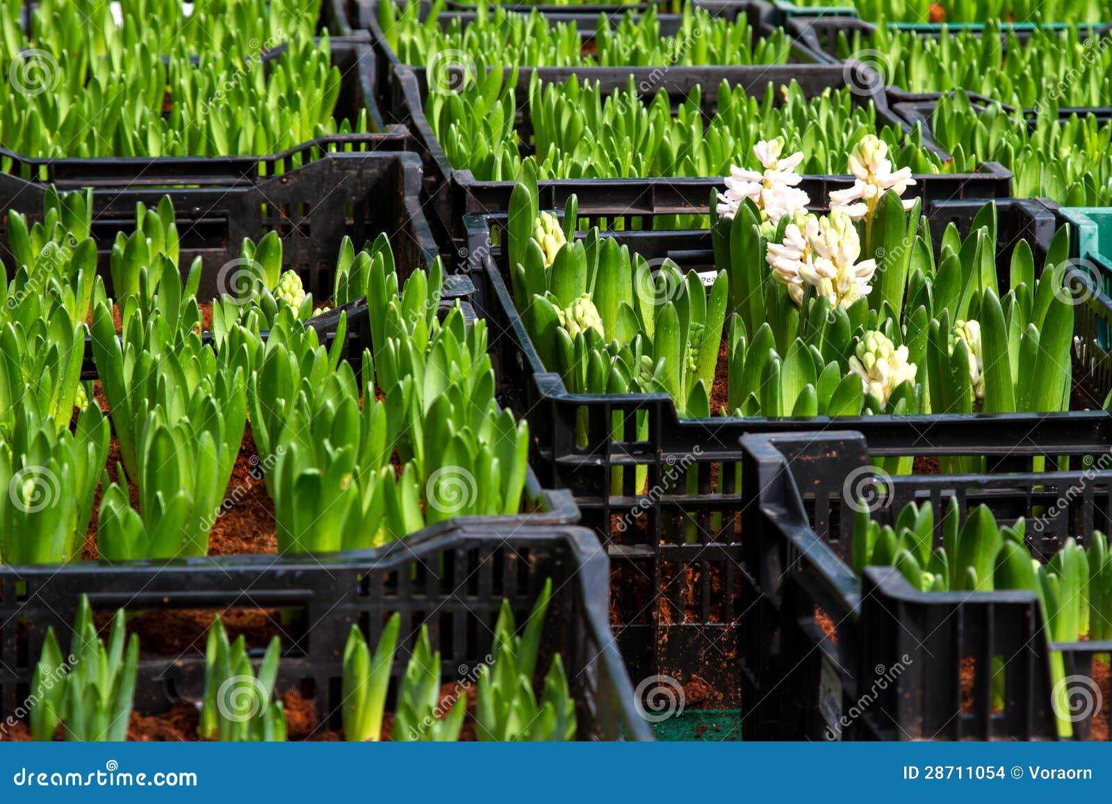 hyazinthe芽