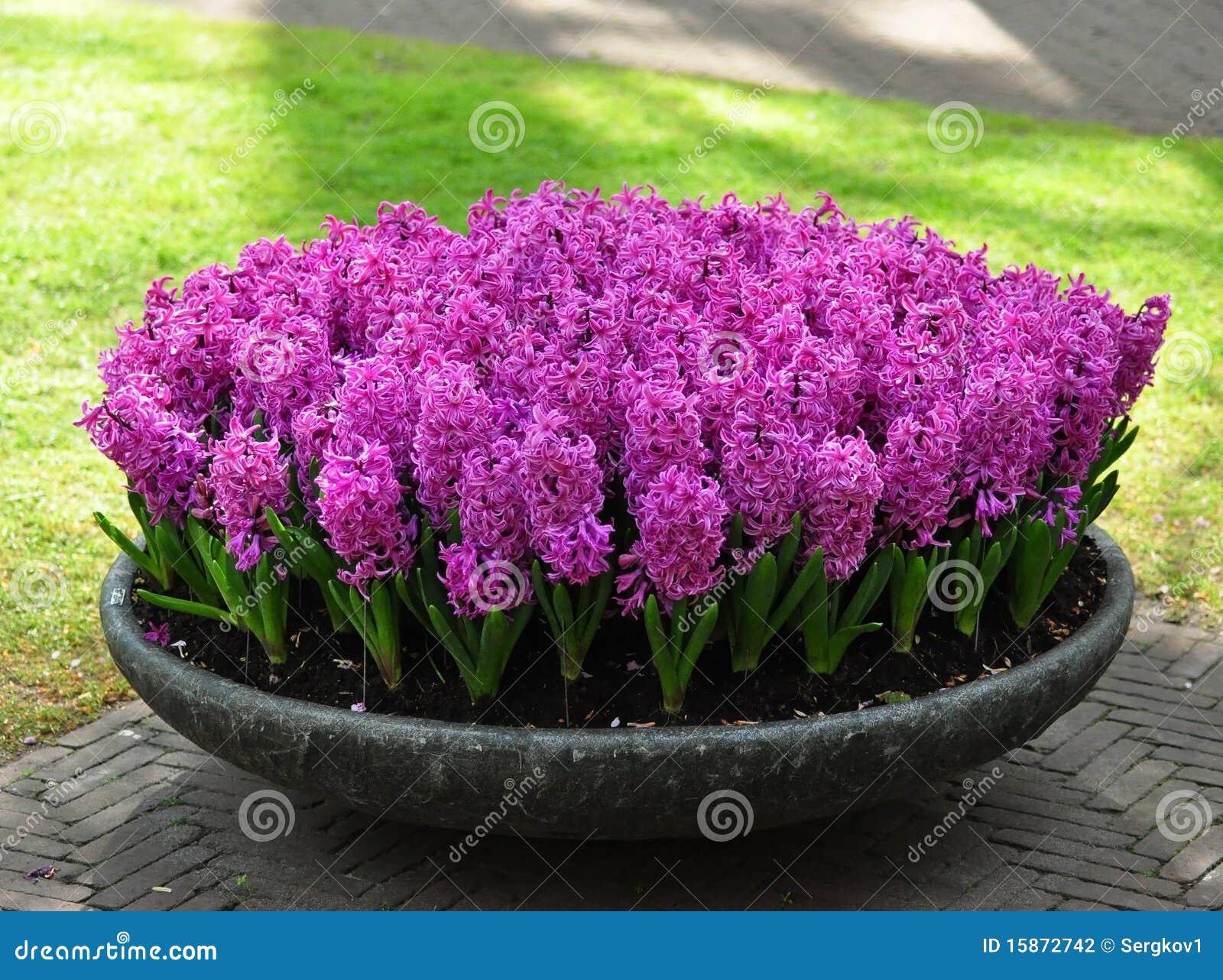 hyazinthe purpur empfindung stockfoto bild von neigung hyazinthe 15872742. Black Bedroom Furniture Sets. Home Design Ideas