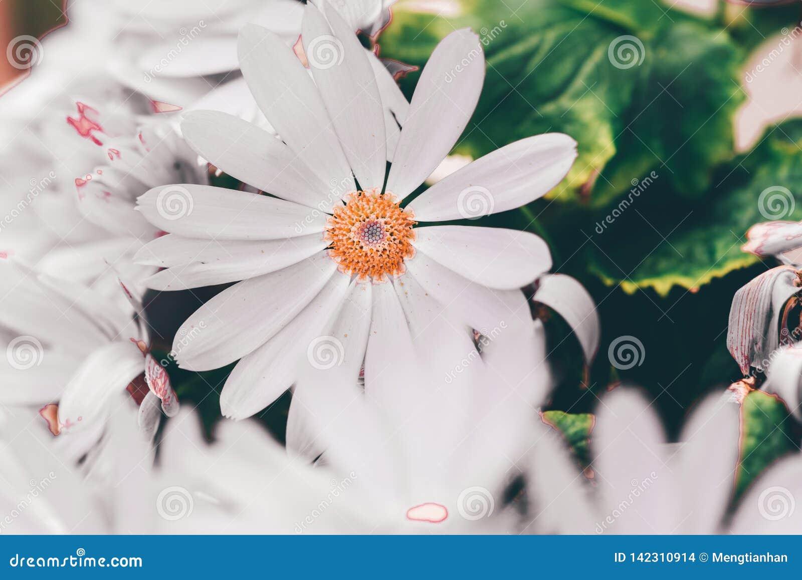 Hybrida blanco 2-Pericallis