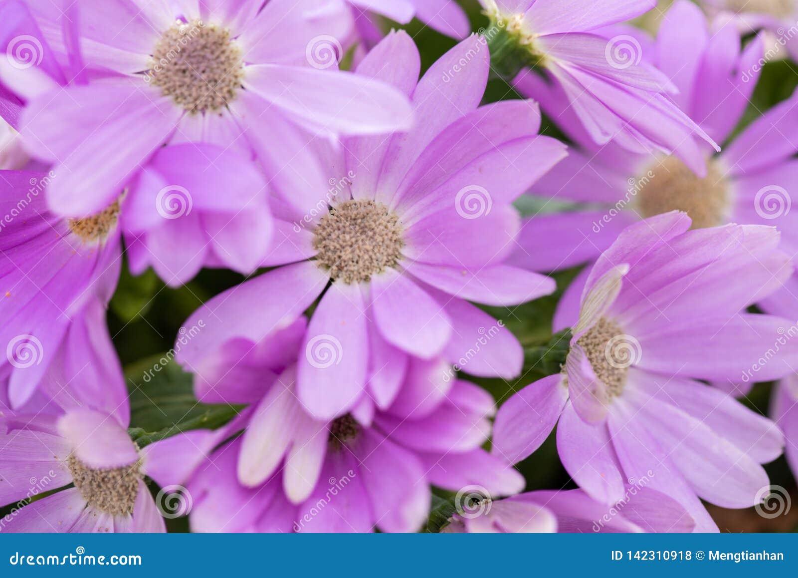Hybrida 2-Pericallis violet