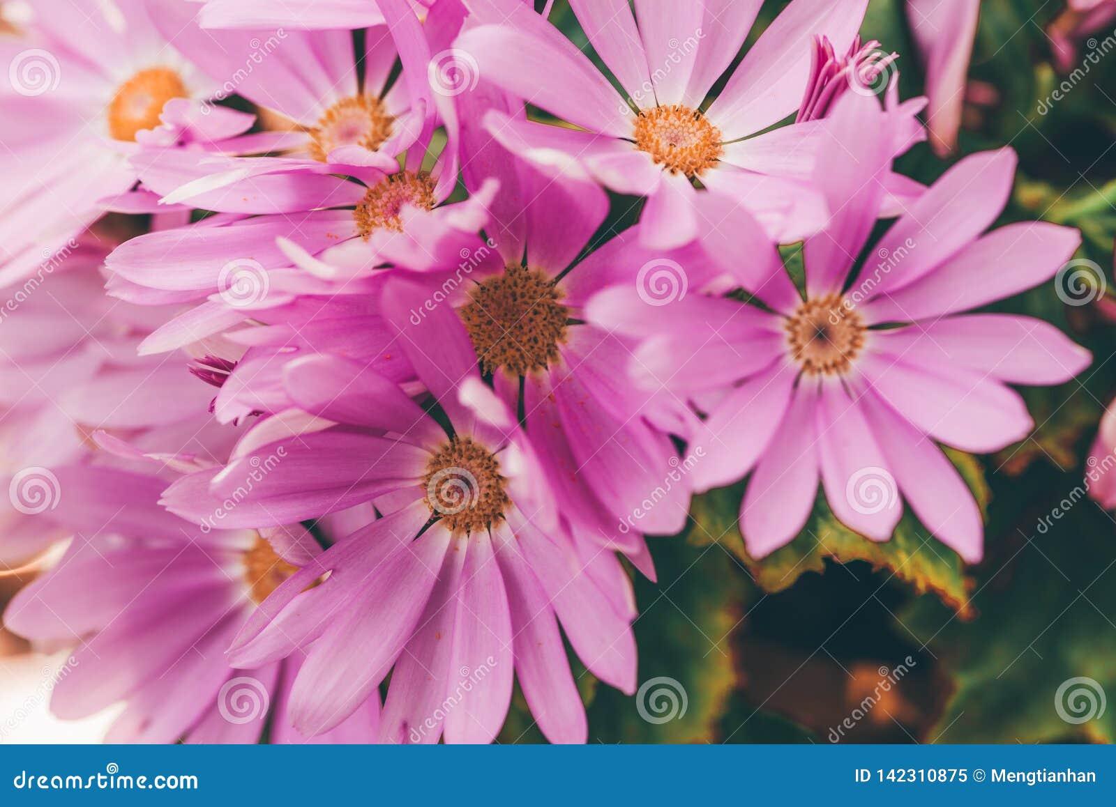 Hybrida rosado del color 2-Pericallis