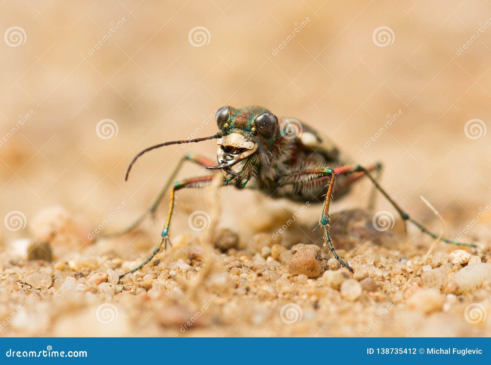 Hybrida septentrional de Tiger Beetle Cicindela de la duna, Checo