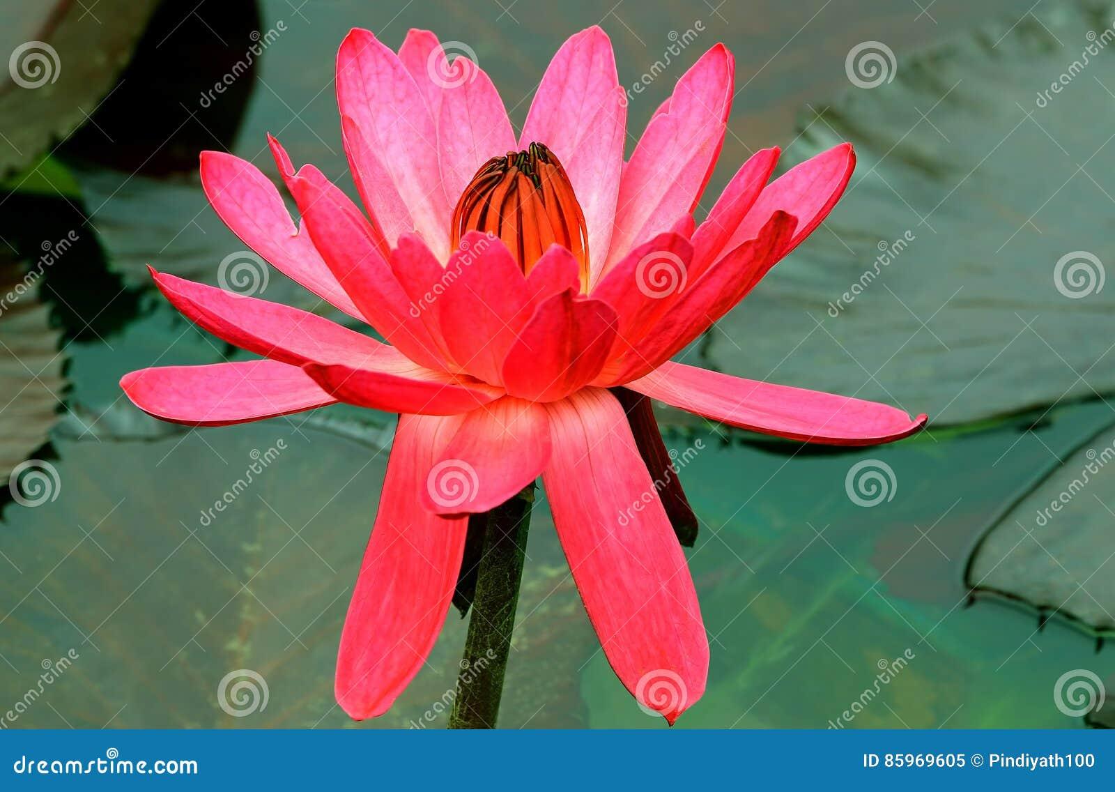 Hybryd różowa wodna leluja