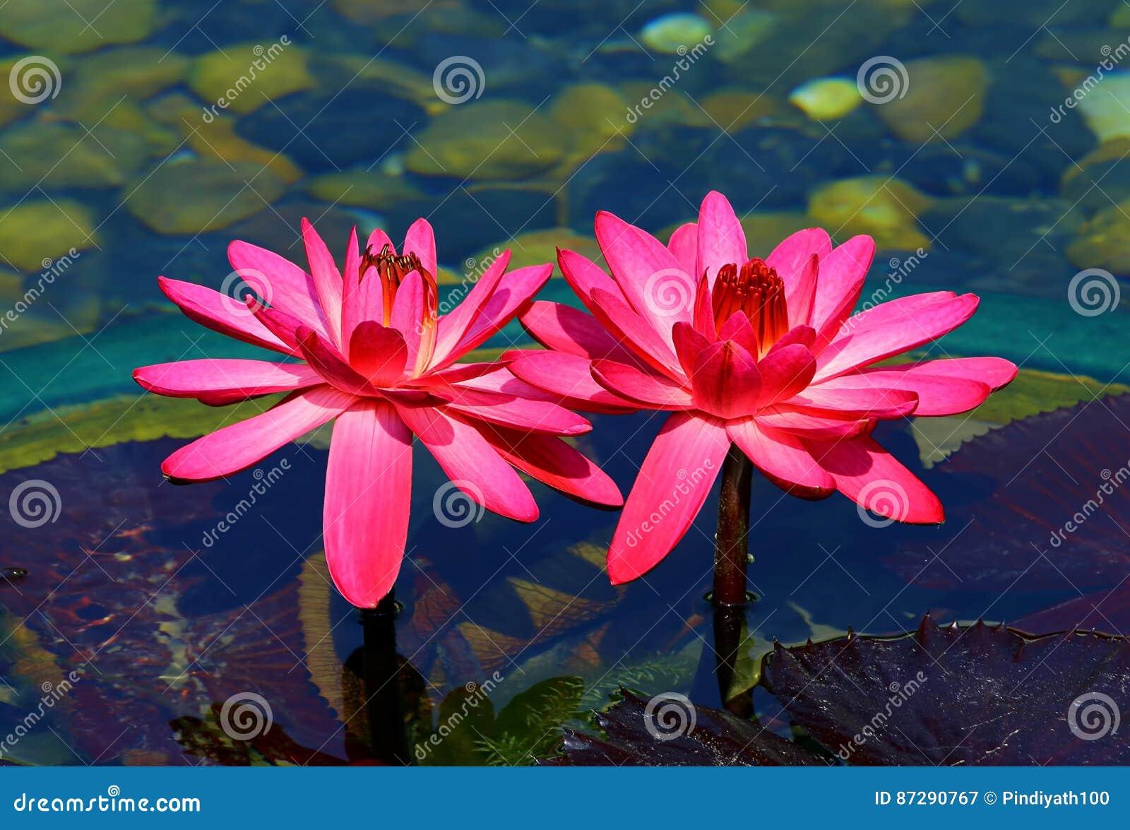 Hybryd różowe wodne leluje