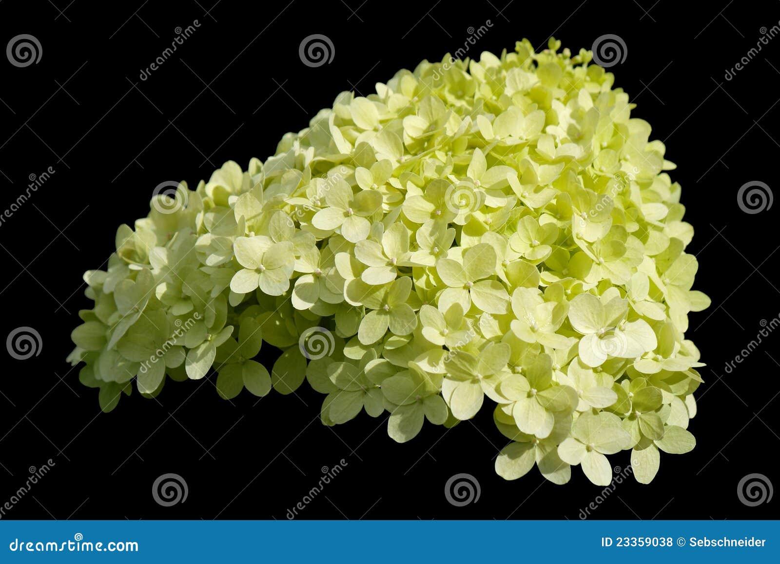 hydrangea arborescens annabelle royalty free stock photos image 23359038. Black Bedroom Furniture Sets. Home Design Ideas