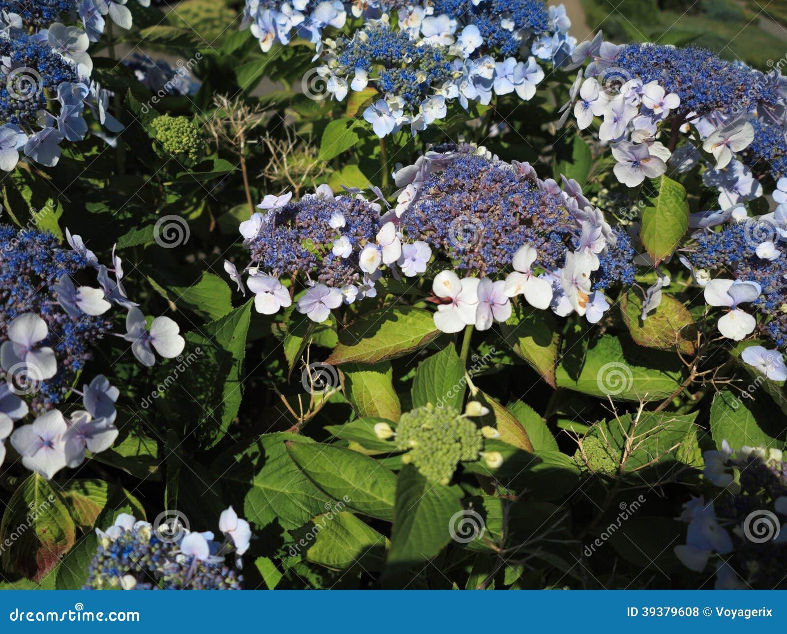 hydrangea aspera macrophylla hortensia flowers stock photo. Black Bedroom Furniture Sets. Home Design Ideas