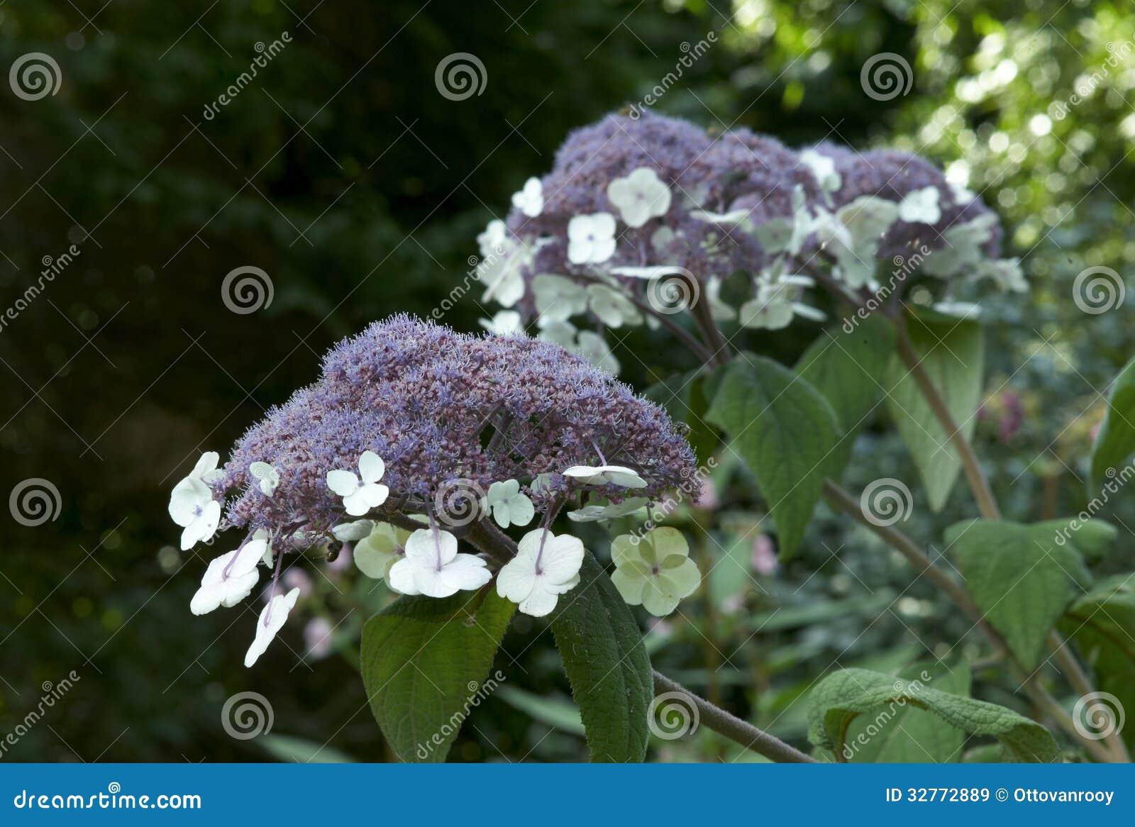 hydrangea aspera macrophylla royalty free stock images. Black Bedroom Furniture Sets. Home Design Ideas