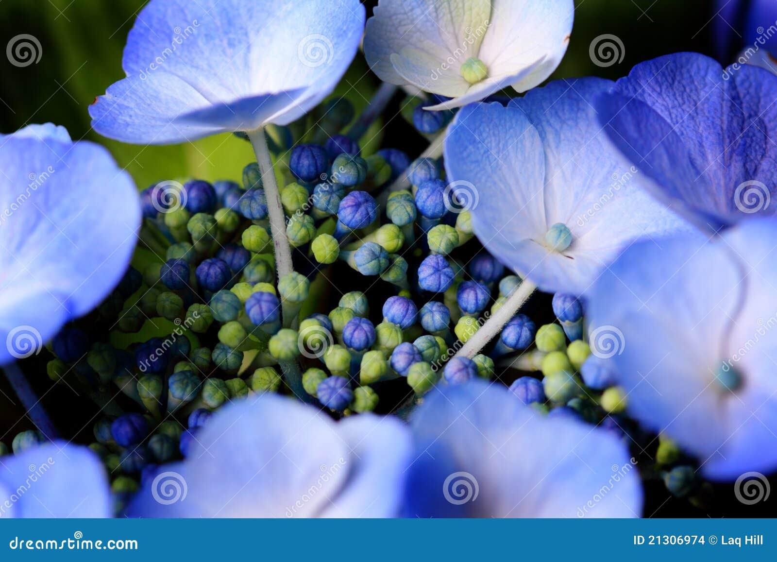Hydrangea azul encantador de Lacecap do inchaço