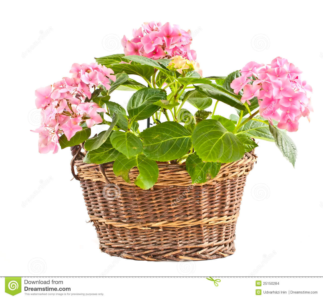 Hydrangea in a braided basket.