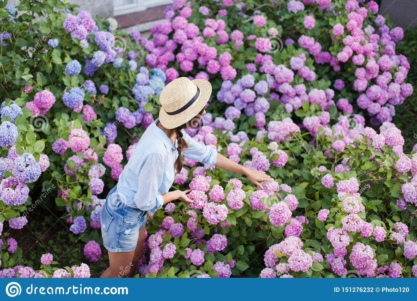 Hydrangea Garden Girl Takes Care Of Spring Bushes Flowers Are