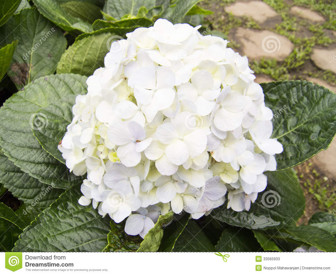 Hydrangea Or Hortensia Flower Stock Photos Image 33565933