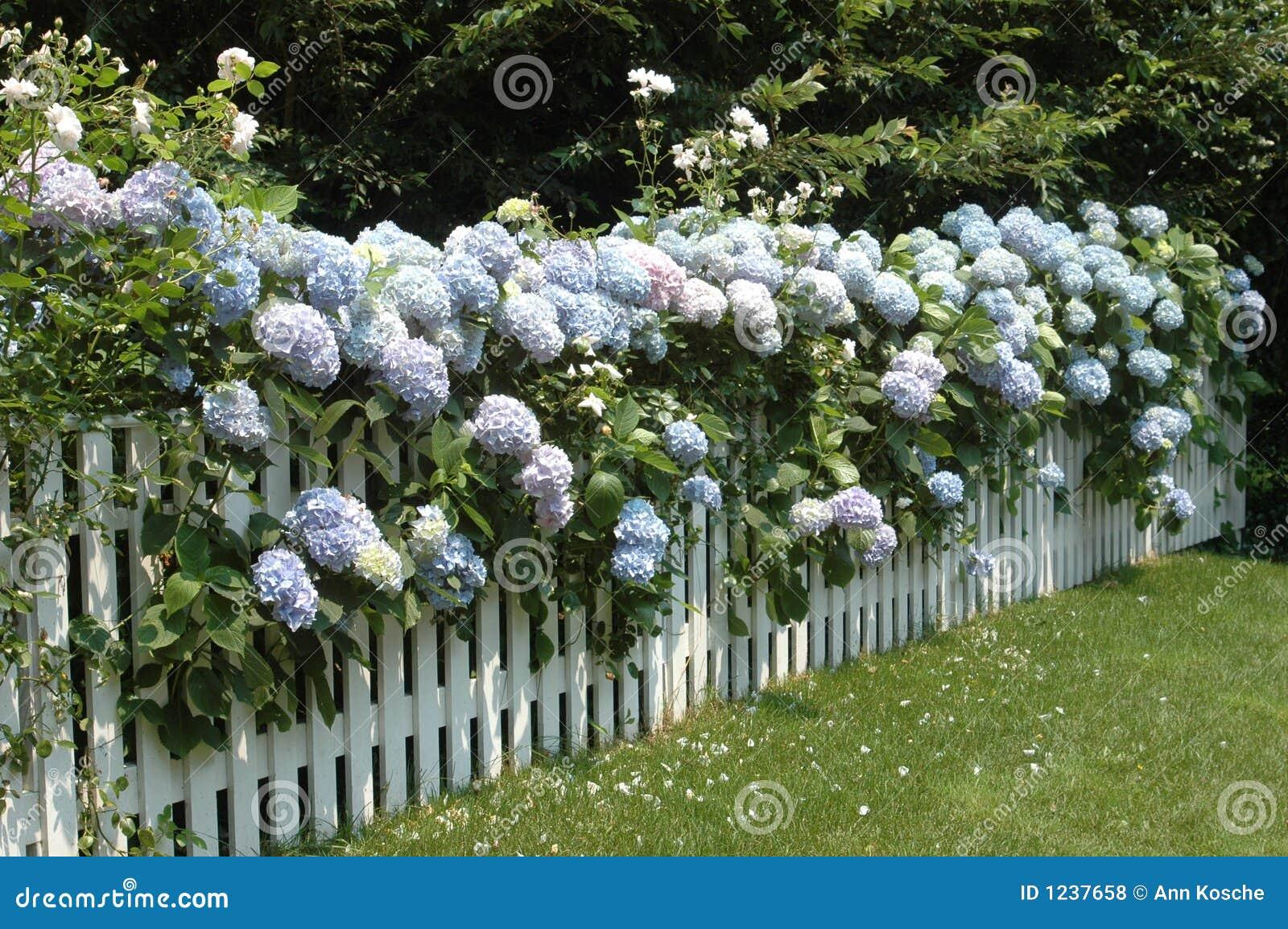 Hydrangea hortensia s op een omheining