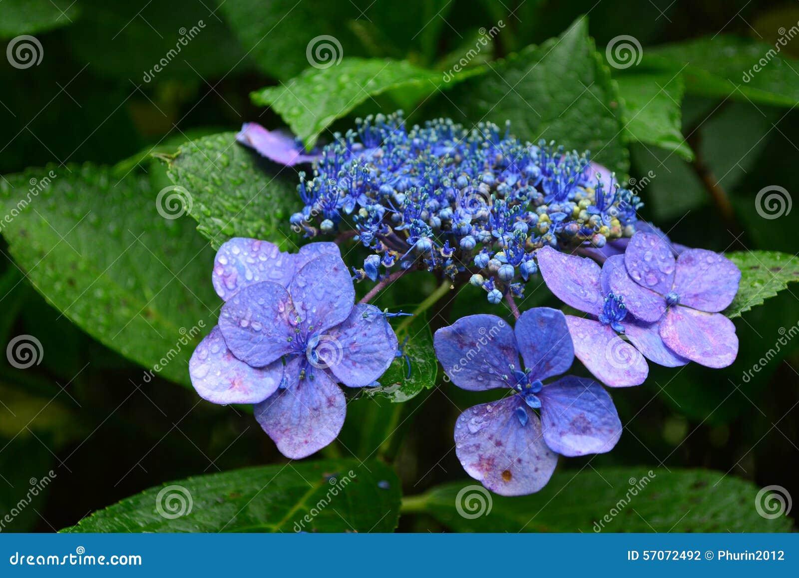 Hydrangea hortensiabloem
