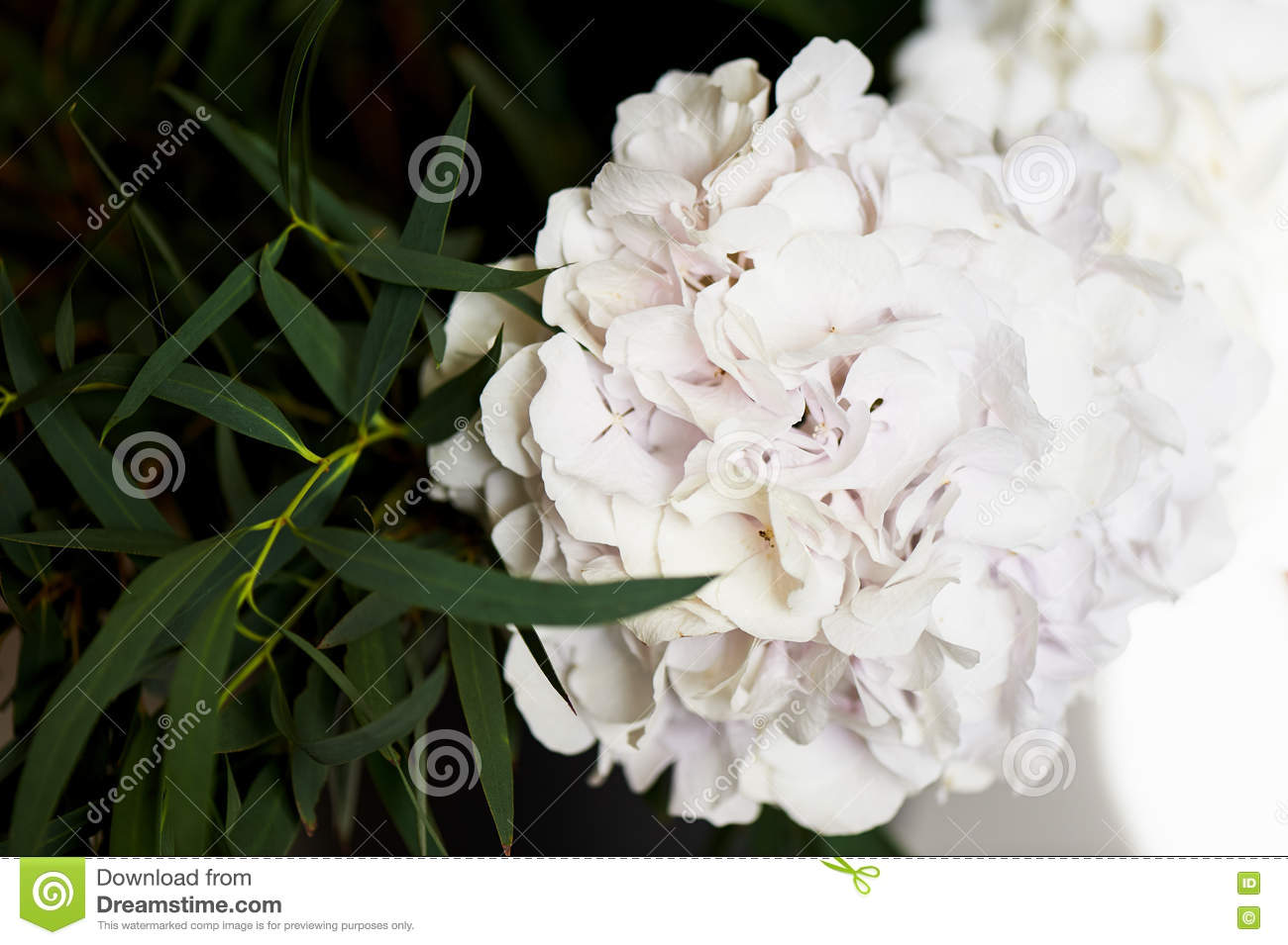 Hydrangea With One Bunch Of White Flowers And Big Green Leaves For A