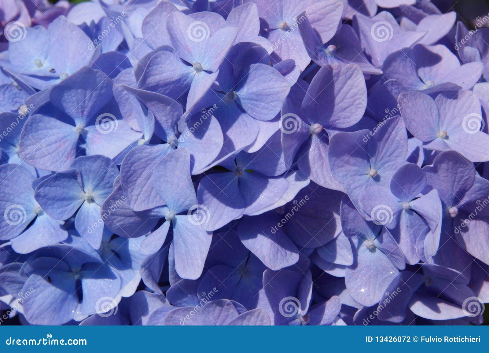 Hydrangea púrpura y azul