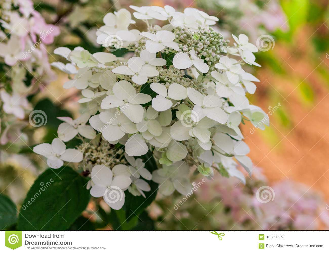 Hydrangea paniculata variety wims red clusters of small white hydrangea paniculata variety wims red clusters of small white flowers mightylinksfo