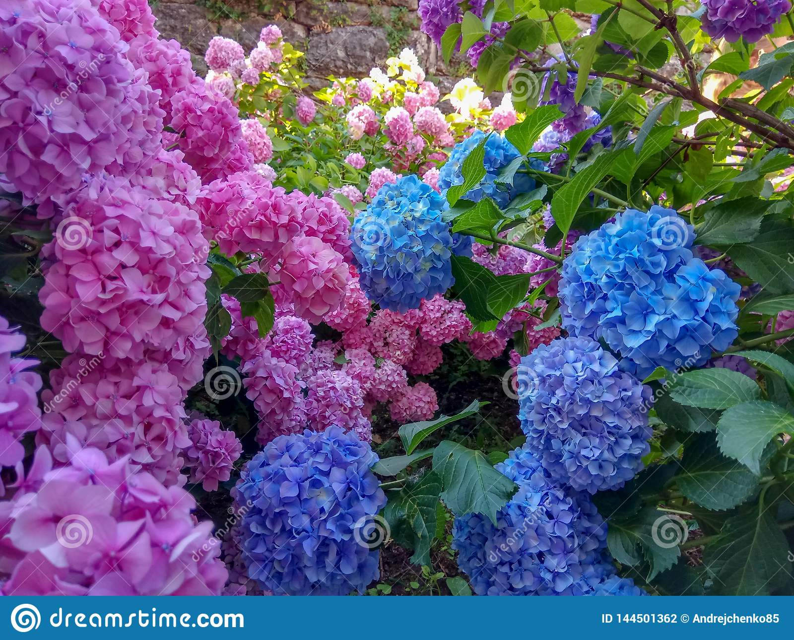 Hydrangea Is Pink Blue Violet Purple Bushes Of Flowers Are