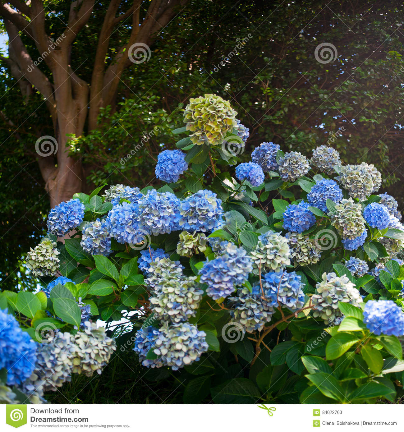 Hydrangea Plant Over Nature Background Spring Flowers Stock Image