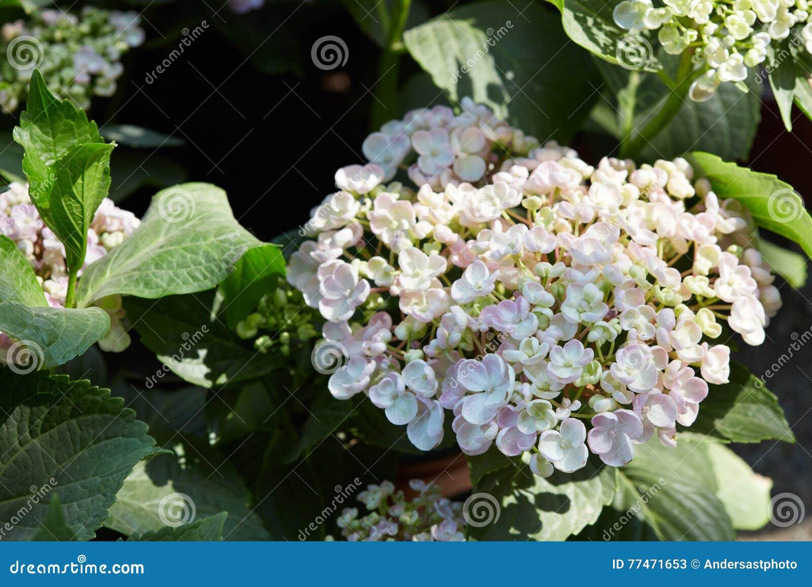Hydrangea Serrata Pale Pink Flowers Stock Image Image Of Pale