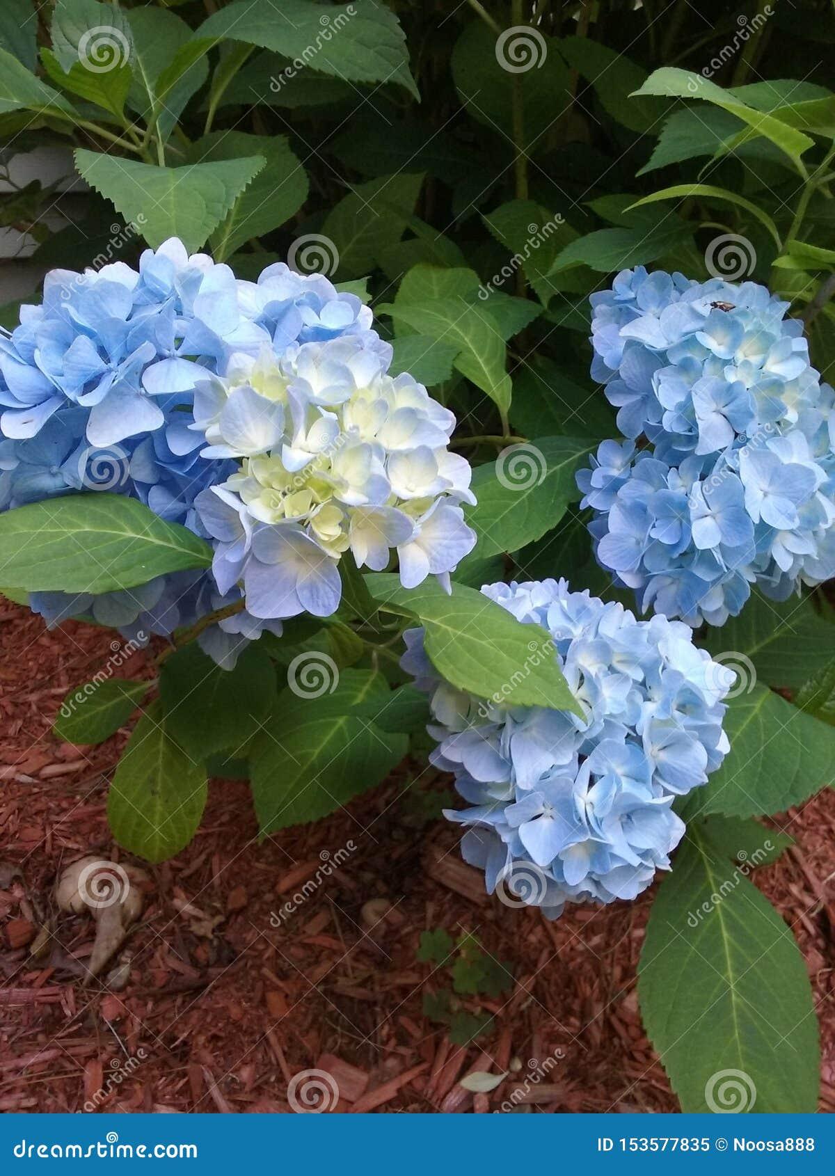 Hydrangeas azuis